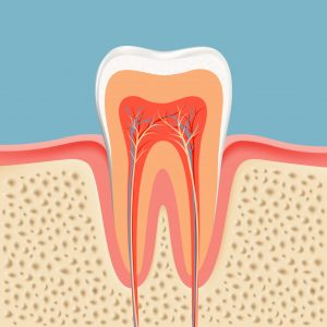 Image illustrating the anatomy of a tooth. A great looking tooth can be maintained with routine dental cleanings at a dental clinic in Lincoln, NE.
